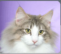oklahomacats.com - Norwegian Forest Cats